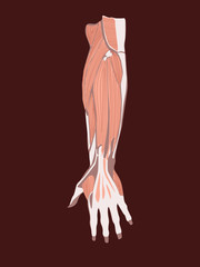 Hand muscles vector