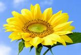 Beautiful vibrant sunflower poster