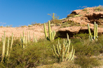 Organ Pipe Cactus in Morning