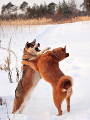 two dogs is fight