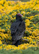 Turkey Vulture, Yellow Flowers