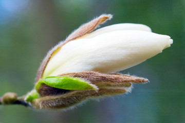 magnolia-tree flower bud