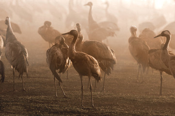 Common Cranes in the fog at Hahula Lake (Agamon), Israel