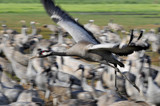 Common Cranes in flight at Ahula Lake, Israel