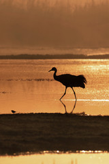 Common Cranes walking in the fog at Hahula Lake, Israel