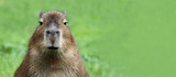 Portrait of a young Capybara with Copy space
