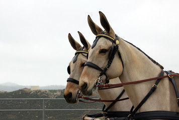 Matched Mules in Harness against White Sky