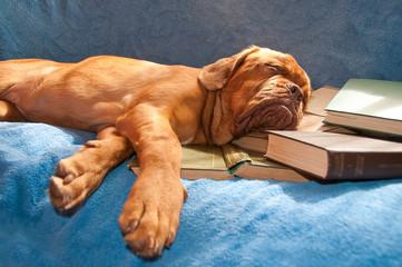 dogue de bordeaux asleep