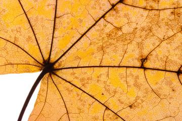Herbstlaub Ahorn © Matthias Buehner