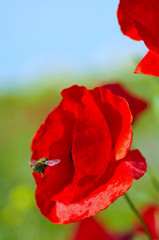 Red Corn Rose Poppy in Meadow, with Bee Hovering