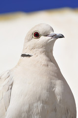 White Collared Dove