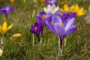 purple spring crocus flowers