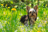 Puppy yorkshire terrier in the grass