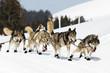 chiens de froid