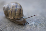 Snail on a Tuscan Garden, Italy poster