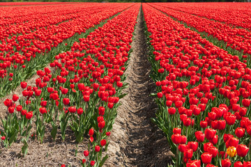 Fields with red tulips