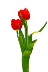 2 Tulpen freigestellt