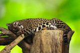 leopard sleep on tree