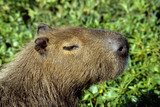 Capybara - today the largest living rodent poster