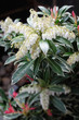 Pieris japonica  (flaming sliver), lily of the valley shrub