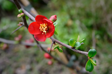 "Flowering quince (Chaenomeles x superba) -- ""crimson and gold"""
