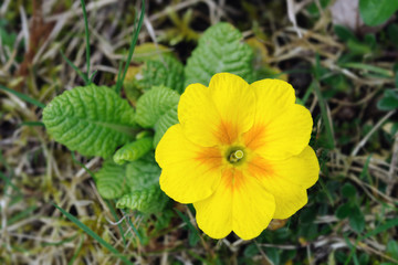 Yellow and orange primrose (primula).  The flower is pin-eyed.