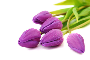 Wet Purple Tulips