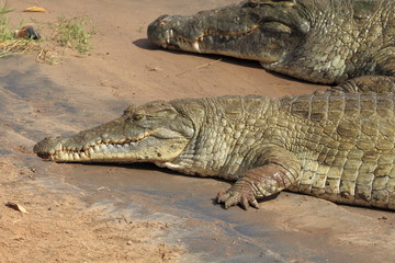 kenya coccodrilli tsavo est