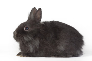 black bunny isolated on white background