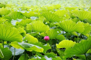 蓮 (東京・上野不忍池)
