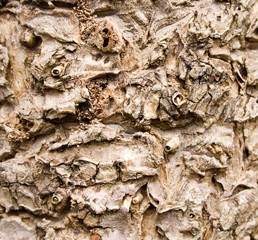 Cabbage Tree Bark Texture