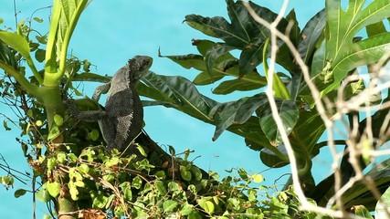 Iguane sur un arbre à pain.