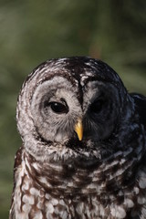 Sparred Owl