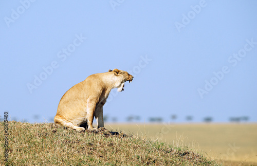 Lioness (panthera leo) in savannah