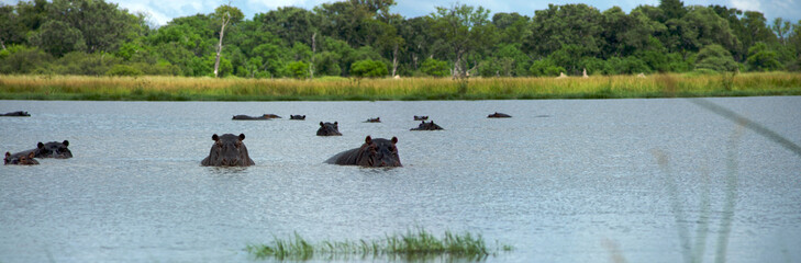 Group of hippopotamus in Moremi Nature Reserve in Botswana