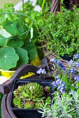 Kräuter und Steingartenpflanzen