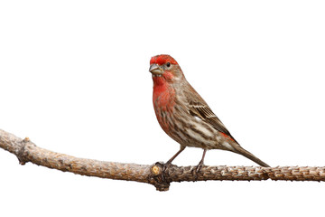 male house finch proudly perched on a branch