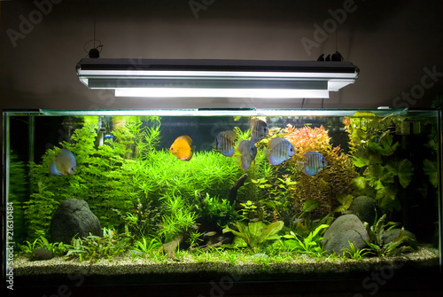 Tropical Freshwater Aquarium with Discus Fish 1 - 21630484
