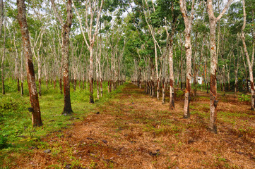 Gum tree Plantation