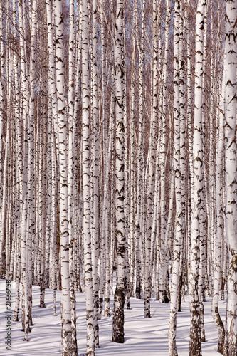 Fototapete birkenstämme  Birkenwald Fototapete günstig kaufen   Fototapeten   Bildtapete ...