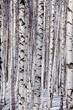 obraz - Birch forest