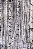 Fototapety Birch forest