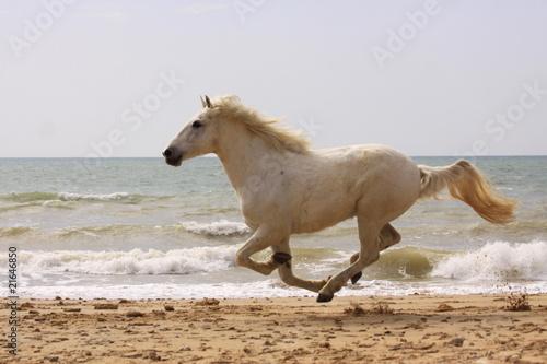 schimmel galoppiert am strand