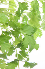 Fresh Coriander or Cilantro Leaves
