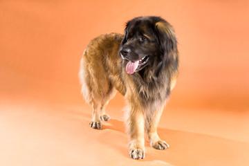 Hunde, Rasse Leonberger
