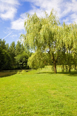 Willow at riverside in a sunny day
