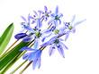 spring scilla flowers