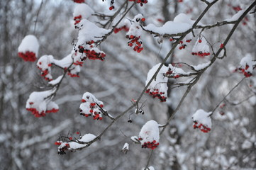 Winter rowan
