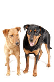 Rottweiler and Pinscher together