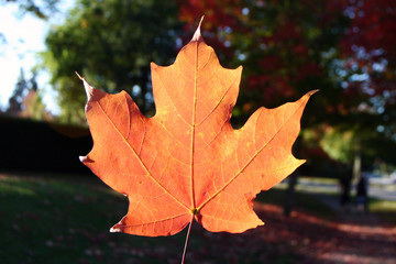 A autumn maple leaf with autumn view background